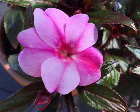 gardensonline impatiens  guinea hybrids