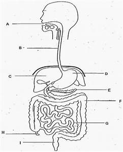 Digestive System Diagram No Labels Beautiful Blank Human