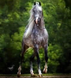 Egyptian Arabian | Arabians | Pinterest