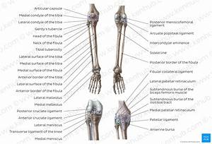 Diagram    Pictures  Tibia And Fibula  Anatomy