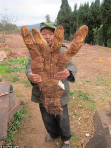 chinese farmer harvests extraordinary giant hand shaped