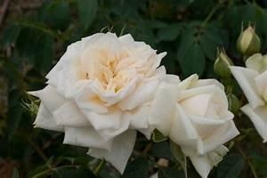 Ilse Krohn Superior : roos klimroos rosa 39 ilse krohn superior ~ Eleganceandgraceweddings.com Haus und Dekorationen