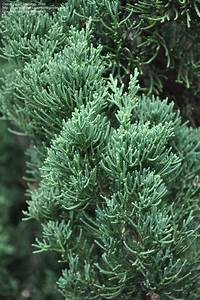 PlantFiles Pictures: Chinese Juniper 'Robusta Green ...