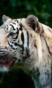Bengal Tiger Half Soak Body on Water during Daytime · Free ...