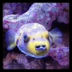 Dog Face Puffer Fish