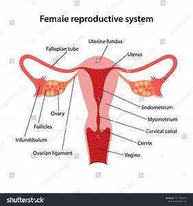 Reproductive System Diagram Labeled