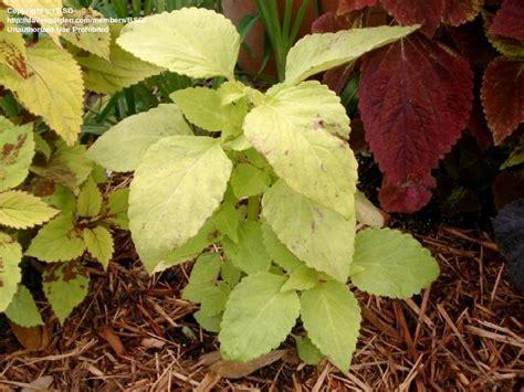coleus lifelime plantfiles pictures coleus flame nettle painted nettle lifelime solenostemon