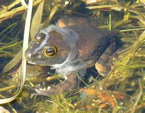 bull frog rana catesbeiana moulting skin photo bev wigney photos at pbase