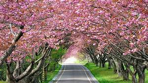 Cherry Blossom Full HD Background, Picture, Image