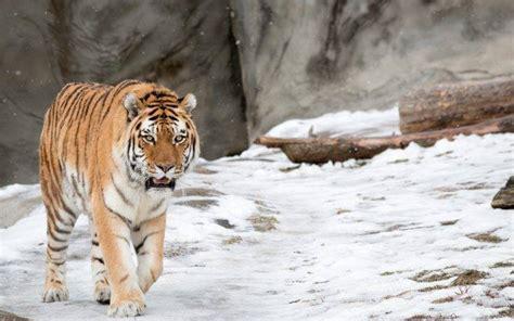 nature wallpaper tiger nature wallpaper hd