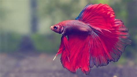 Betta Fish Wallpapers HD