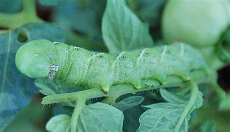 how do i get rid of tomato worms tomato hornworm how to get rid of it my vegetable