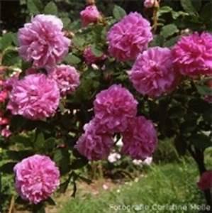 Alte Rosensorten Stark Duftend : moosrosen historische und moderne mi mme abel ~ Michelbontemps.com Haus und Dekorationen