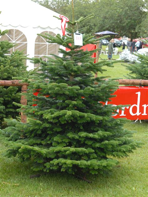 new fir varieties sprout on christmas tree farms and lots