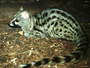 Small-spotted Genet at Chomutov, 30/08/12 | ZooChat