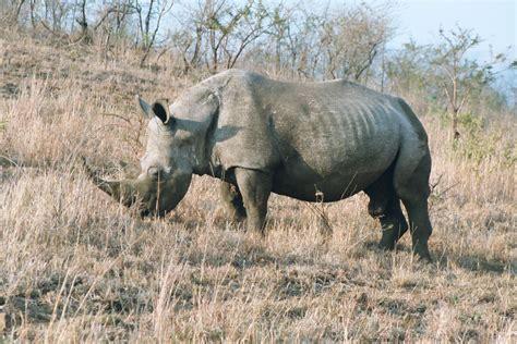 rhinoceros toed ungulate odd largest perissodactyla order living