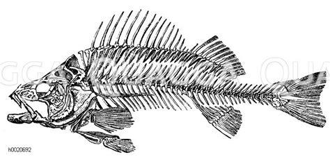 barsch skelett