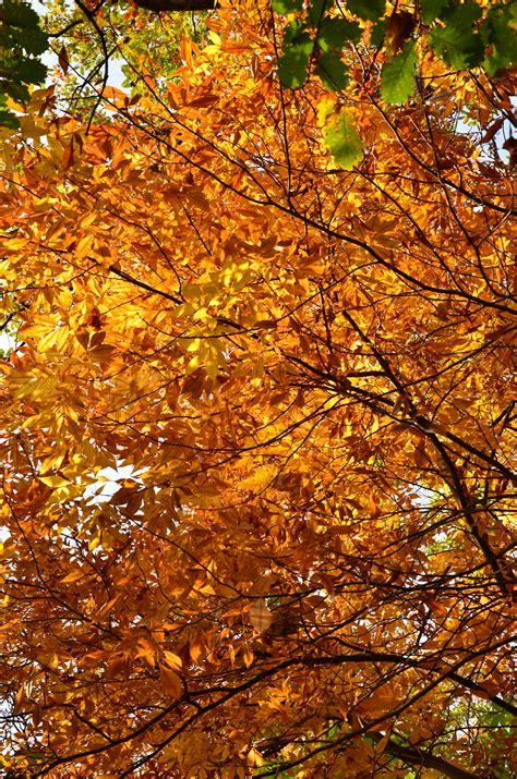 Free photo: Autumn tree - Autumn, Leaf, Orange - Free ...