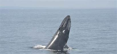 Whale Aquarium Whales England Gifs Boston Animals
