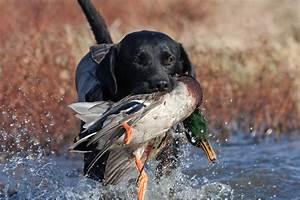 Waterfowl Gun Dog Training | Shawnee Hills Retrievers