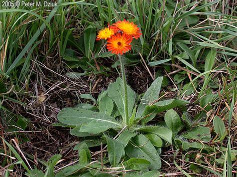 Hieracium aurantiacum (Orange Hawkweed): Minnesota Wildflowers