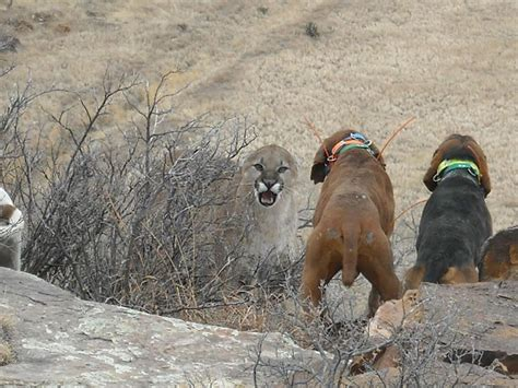 hunting mountain lion dogs dog lions hounds hound bear hunt colorado hog bloodhound hunter plott tn vest treeing