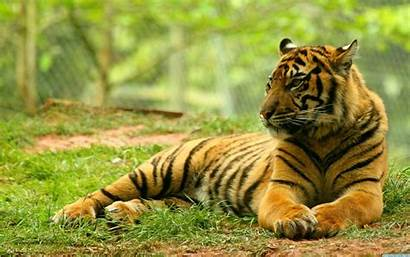 Wallpapers Wildlife Animal Desktop Tiger Nature Backgrounds