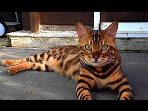 This Cat Is Named Thor And Looks Like A Bengal Tiger - YouTube