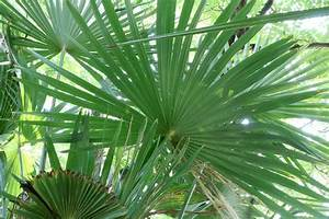 Hanfpalme Braune Blätter : palme bekommt gelbe bl tter oder braune blattspitzen ~ Lizthompson.info Haus und Dekorationen