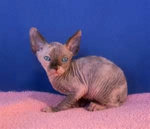 blue sphynx cat oc sphynx kittens blue eyed sphynx kittens available for