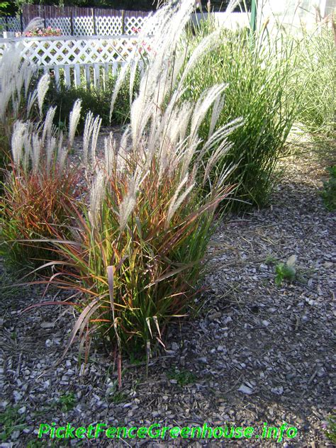 grass perennial perennial grass related keywords suggestions perennial grass long tail keywords
