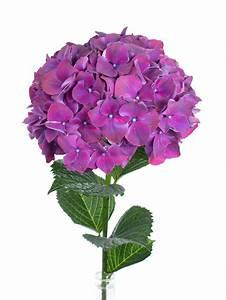 Hortensie Als Zimmerpflanze : hortensie magical rubyred aubergine lila bestellen blumigo ~ Lizthompson.info Haus und Dekorationen