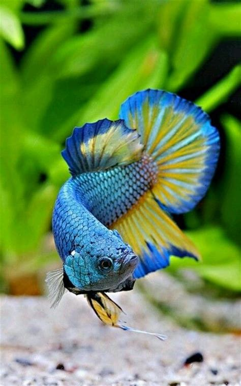 beautiful blue 39 s superior 25 best ideas about tropical fish on colorful
