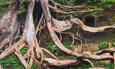 munduk asri payangan akar kayu  tebing  pesona rimba