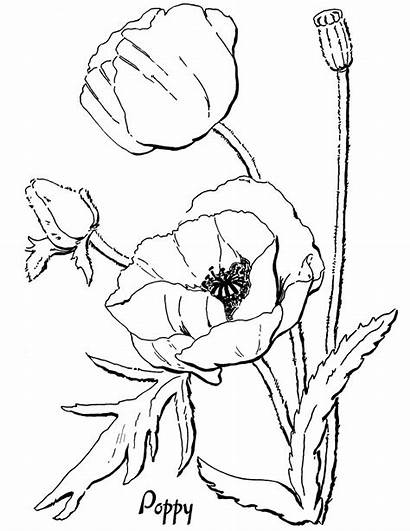 Coloring Poppy Adult Pages Adults Drawing Floral