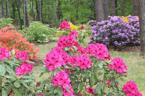Pašiem savs īpašais rožu koks   liepajniekiem.lv