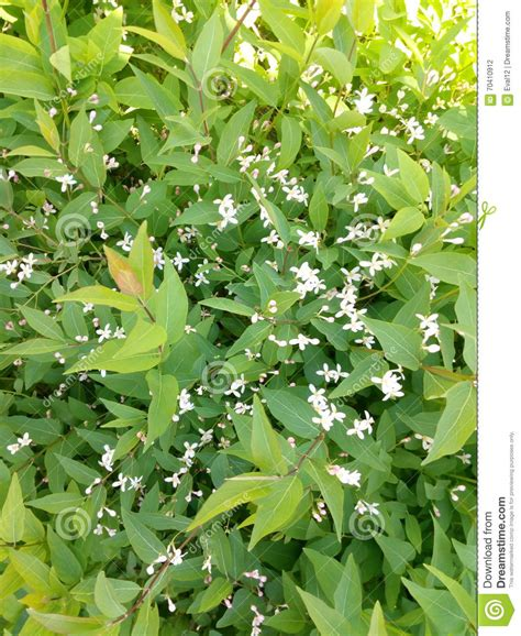 shrub with small white flowers in green spring shrub with small white flowers stock photo image 70410912