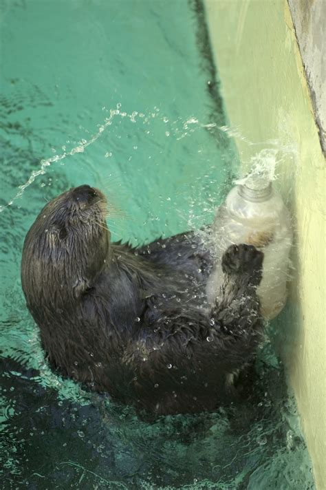 otter sea southern zoo enrichment tags oregon bottle gal swimming squirt