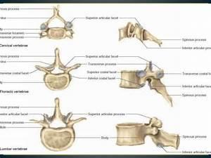Image Result For Vertebrae