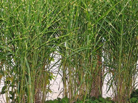 Hochwachsende Pflanzen Sichtschutz by Hochwachsende Pflanzen Sichtschutz Garten Moy Bambus
