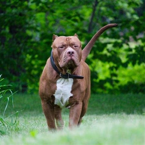 cost of pit this is how much the world s largest pitbull s puppies will cost you