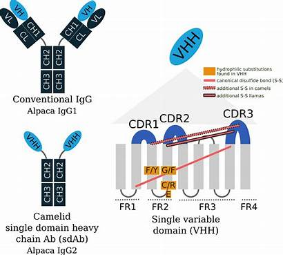 Single Antibody Chain Sequencing Disulfide Cdr3 Llama