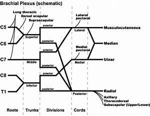 Brachial Plexus And Its Injury