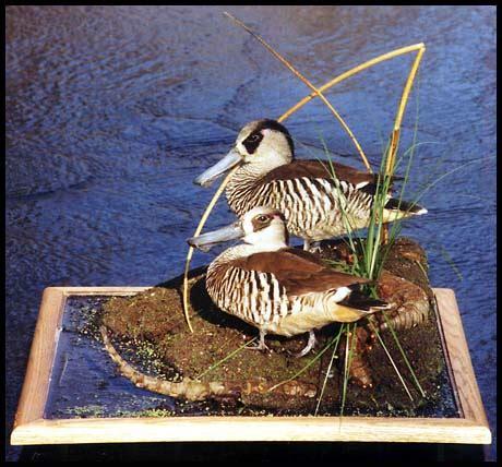 gallery  wildlife art frank newmyers pink eared ducks