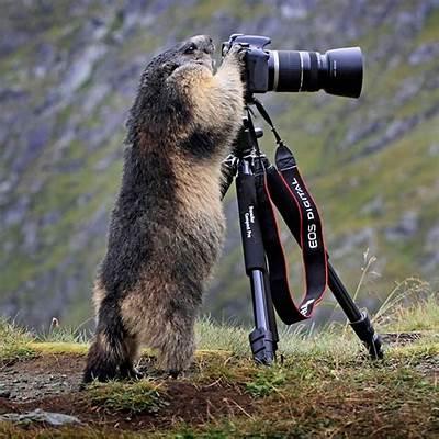 Alpine Marmot With CameraBored Panda