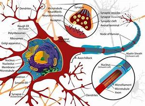 Neurons - Anatomy  U0026 Physiology