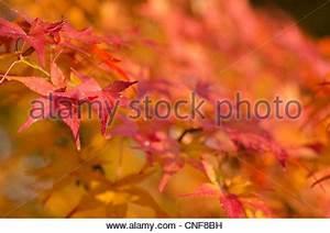 Ahorn Rote Blätter : der japanische ahorn acer palmatum herbst duschen roten herbstlaub stockfoto bild 87802576 ~ Eleganceandgraceweddings.com Haus und Dekorationen
