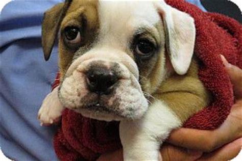 Bulldog Puppy And Dog Tips Adopt A Pet Com Blog
