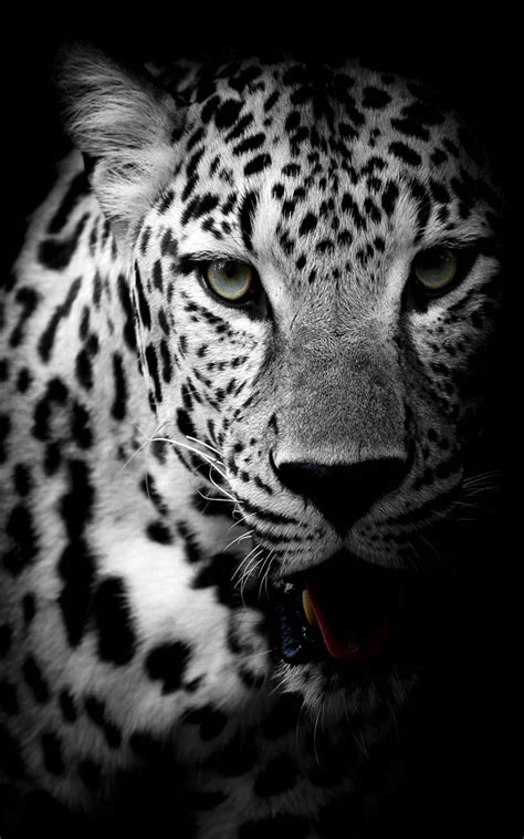 Black And White Animal Wallpaper - leopard black white free 4k ultra hd