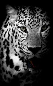 Black and White Leopard Animal